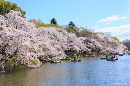 Cherry blossoms at the Inokashira Park in Tokyo